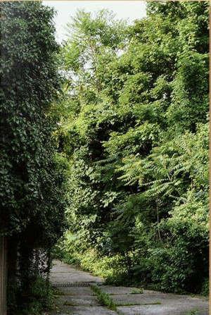 Ailanthus altissima : inventaire photographique sur le développement spontané des ailantes dans l'espace urbain
